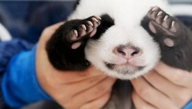 Cute Pandas - Top 5 Photos